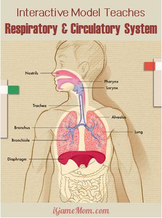 Interactive app teaching respiratory circulatory system