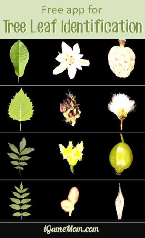 Free app for tree leaf identification