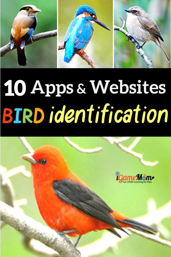 Apps and websites for bird identification while bird watching, by bird color, bird size, bird songs, bird call. Including birds in North America, Europe. Wonderful interactive and multimedia science tools for kids and adults to learn about backyard birds and wild birds.