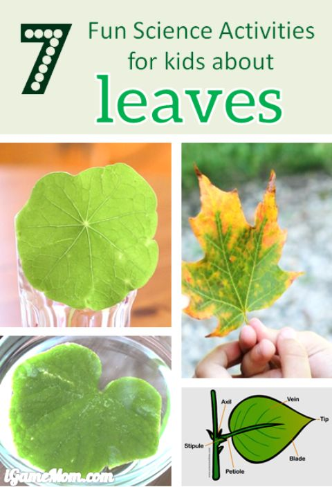 Leaves Science experiment projects for Kids -- leaf color, structure, shape, … Fun STEM activities for kids to learn about trees and plant life cycle and parts of plants. For preschool to grade 6 nature Fall science activities