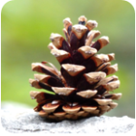Cool Pine Cone Science Experiments for Kids post image